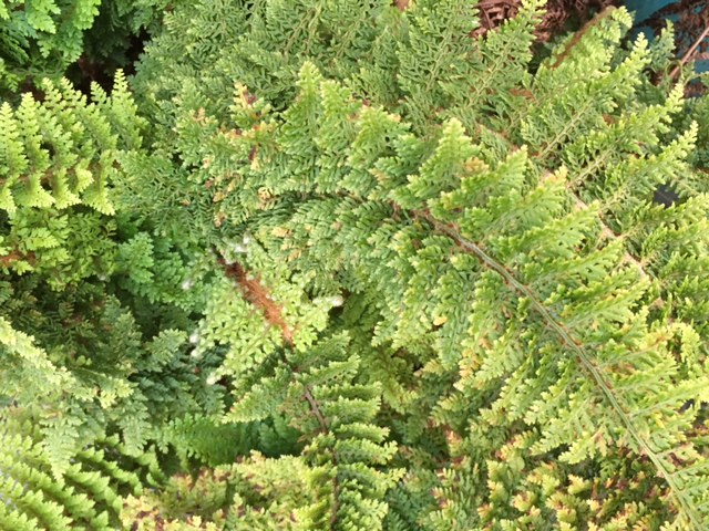 Beautiful and delicate very old fern in full growth